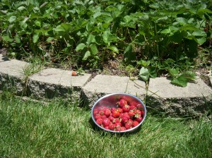 Bumper crop this year--had strawberries with everything, but still hard to see them go.