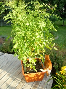 Sun Gold tomatoes with cat on the side
