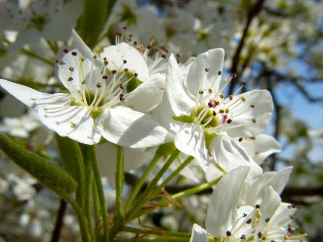 Brides of spring
