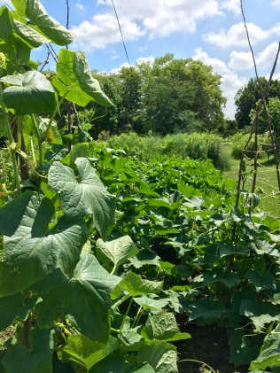 The squash and cucumber patch is busting out, literally.